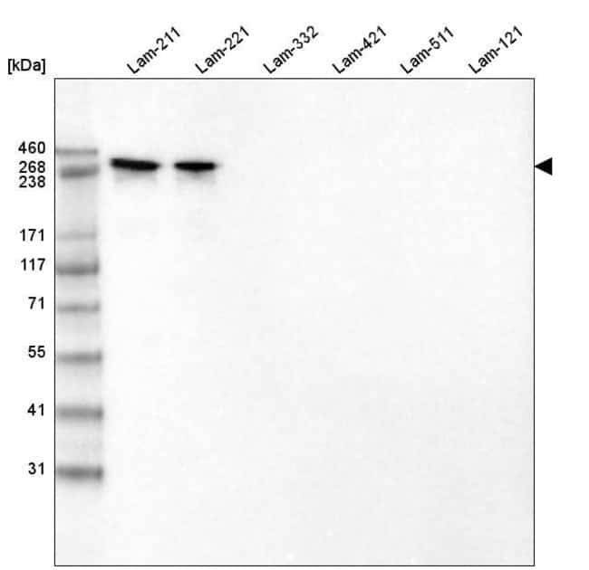 Laminin alpha-2 Mouse anti-Human, Mouse, Rat, Clone: CL3450, Invitrogen