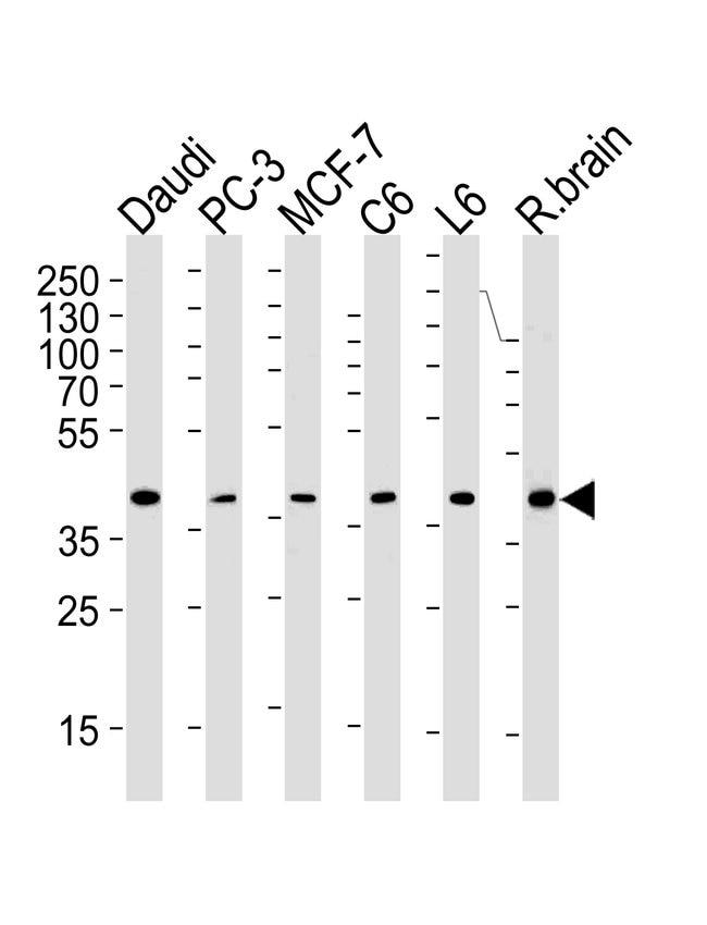 CREB3L4 Mouse anti-Human, Rat, Clone: 1165CT16.1.1, Invitrogen 400 µL;