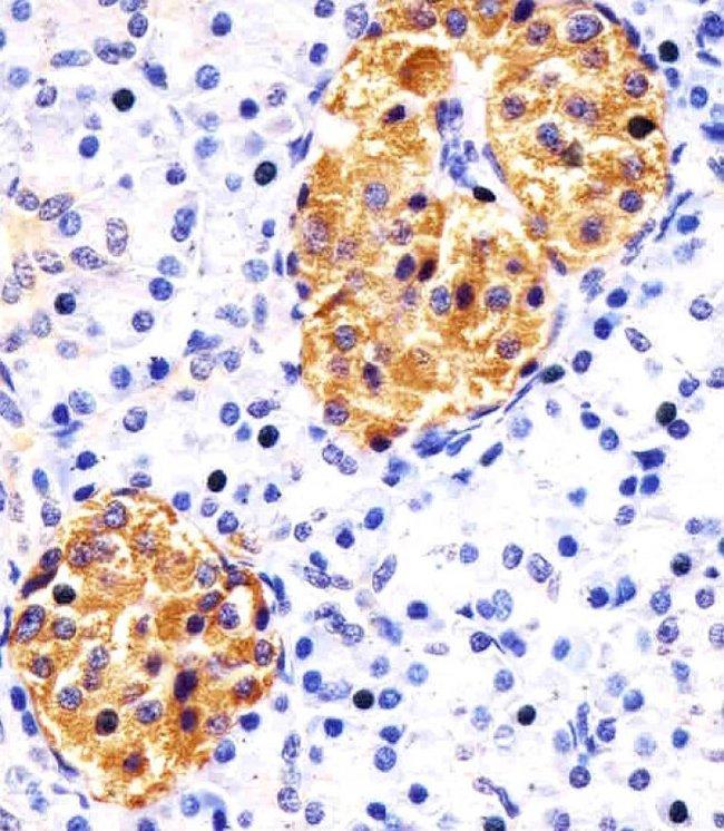 RAB3B Mouse anti-Human, Mouse, Rat, Clone: 1543CT354.60.92, Invitrogen