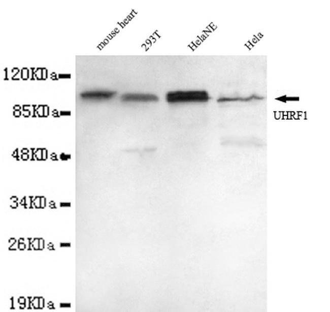 UHRF1 Mouse anti-Human, Mouse, Clone:, Invitrogen 100 µL; Unconjugated