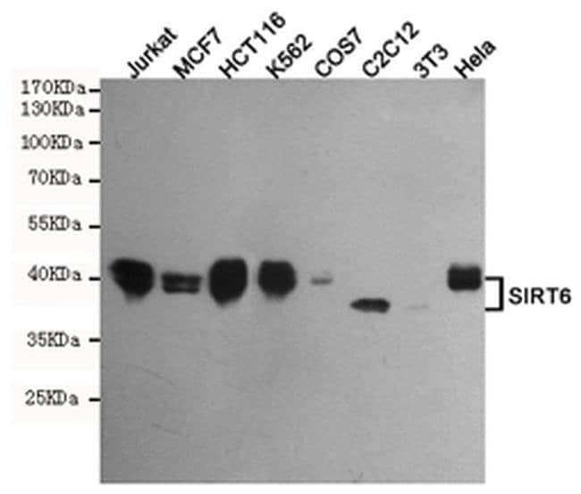 SIRT6 Mouse anti-Human, Mouse, Non-human primate, Rat, Clone:, Invitrogen