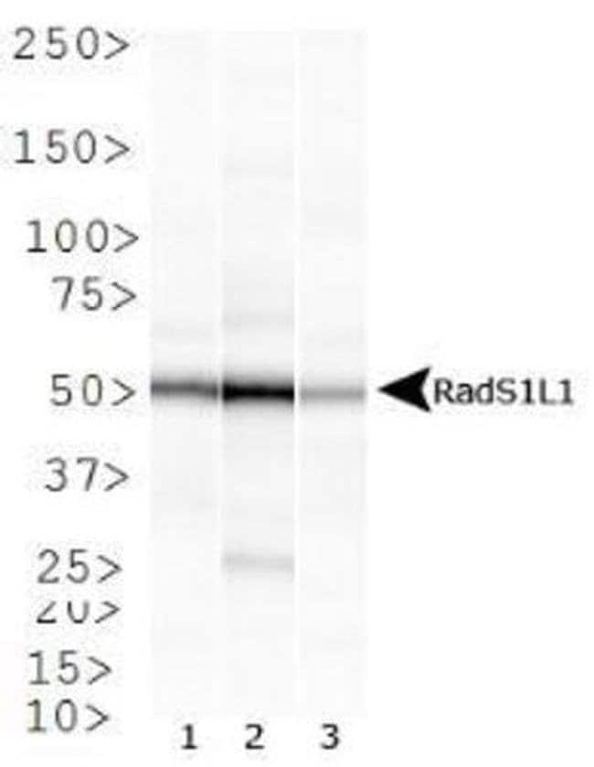 RAD51B Mouse anti-Human, Non-human primate, Clone: 1 H3/13, Invitrogen