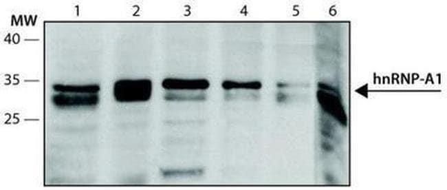 hnRNP A1 Mouse anti-Bovine, Canine, Human, Mouse, Clone: 4B10, Invitrogen