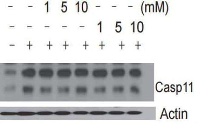 SCAF11 Rat anti-Human, Mouse, Clone: 17D9, Invitrogen 100 µL; Unconjugated