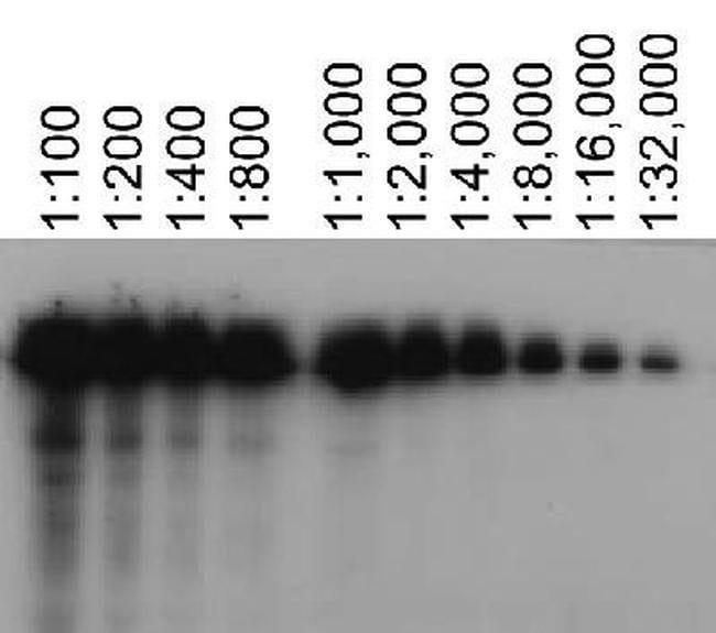ABCA7 Rat anti-Mouse, Clone: 7A1-144, Invitrogen 100 µL; Unconjugated