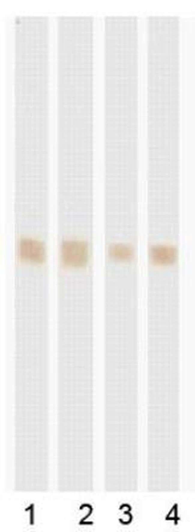 POLR2D Mouse anti-Human, Clone: RB42, Invitrogen 200 µg; Unconjugated