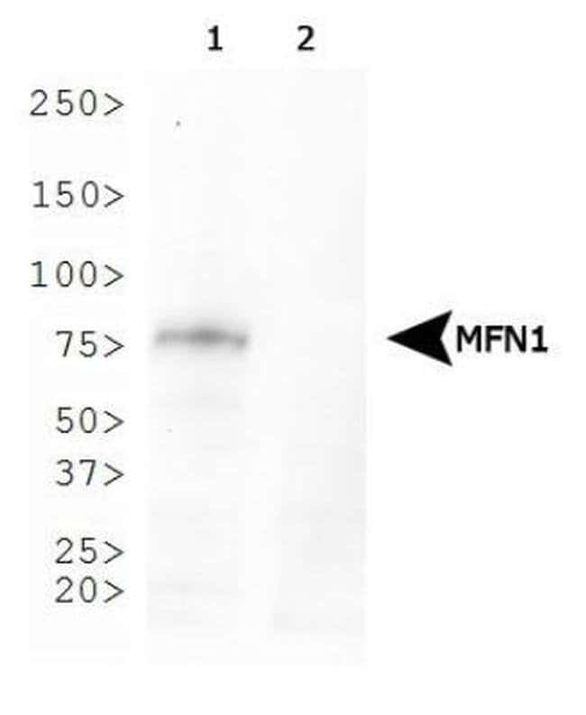 MFN1 Mouse anti-Mouse, Rat, Clone: 11E9-1H12, Invitrogen 100 µL; Unconjugated