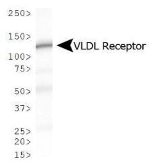 VLDLR Mouse anti-Bovine, Human, Mouse, Rat, Clone: 6A6, Invitrogen 100