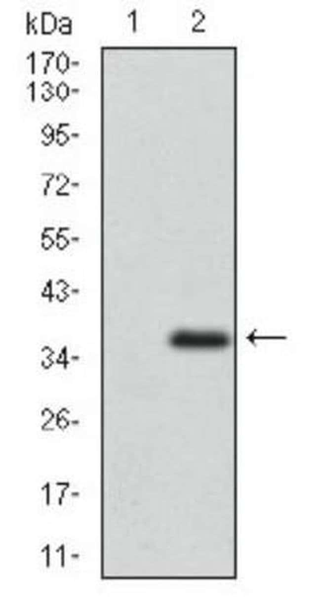 ABCG5 Mouse anti-Human, Clone: 1B5E10, Invitrogen 100 µL; Unconjugated