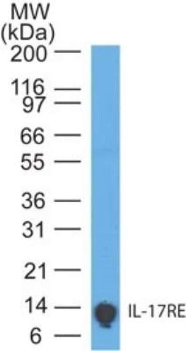 IL17RE Mouse anti-Human, Clone: 46N7E3, Invitrogen 100 µg; Unconjugated