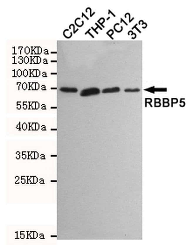 RBBP5 Mouse anti-Human, Mouse, Rat, Clone: 3H3, Invitrogen 100 µL;