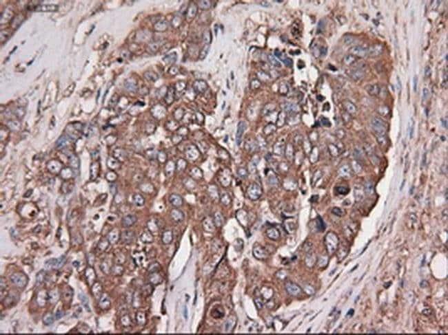 Carboxypeptidase A1 Mouse anti-Human, Clone: OTI2A3, Invitrogen 100 µL;