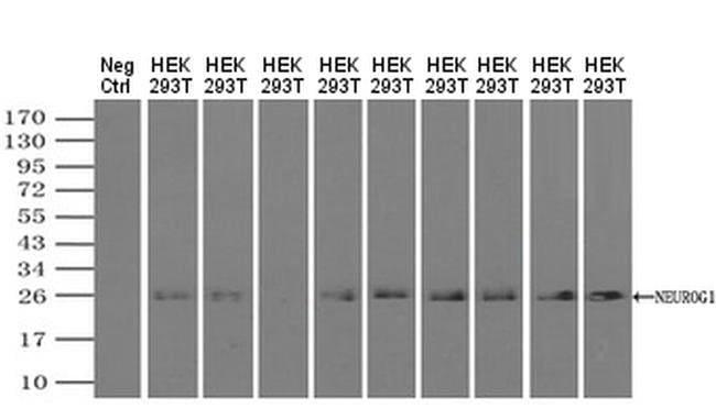 Neurogenin 1 Mouse anti-Human, Clone: OTI15A7, Invitrogen 100 µL;