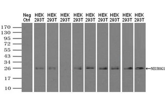 Neurogenin 1 Mouse anti-Human, Clone: OTI3F9, Invitrogen 100 µL; Unconjugated