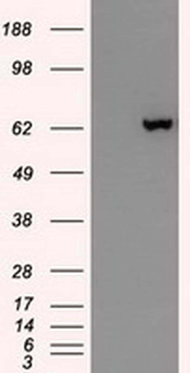 GAD67 Mouse anti-Canine, Human, Clone: OTI3H2, Invitrogen 100 µL;