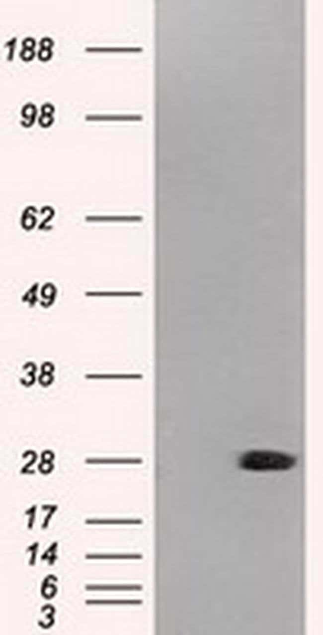 Neurogenin 1 Mouse anti-Canine, Human, Clone: OTI8G8, Invitrogen 100 µL;