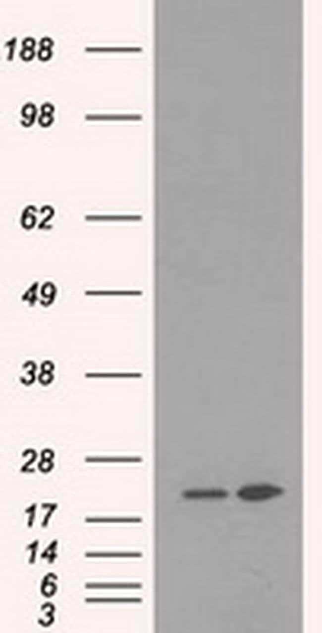 DHFR Mouse anti-Canine, Human, Non-human primate, Clone: OTI6G7, Invitrogen
