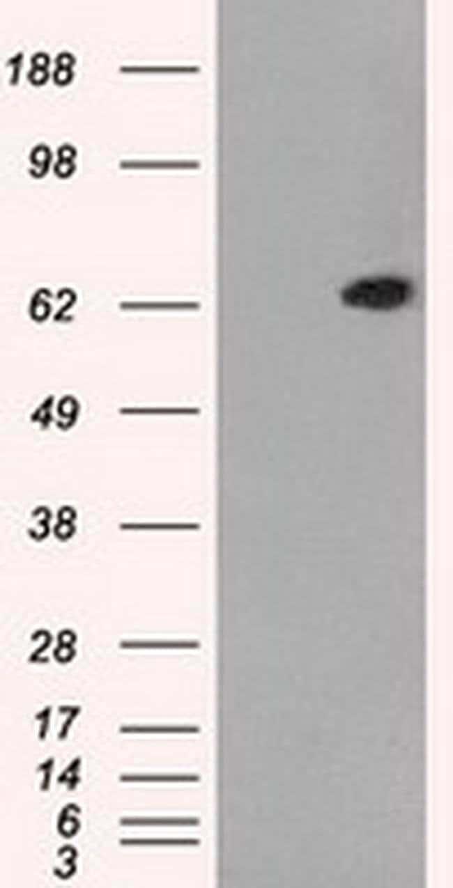 GBP2 Mouse anti-Human, Clone: OTI5C8, Invitrogen 100 µL; Unconjugated