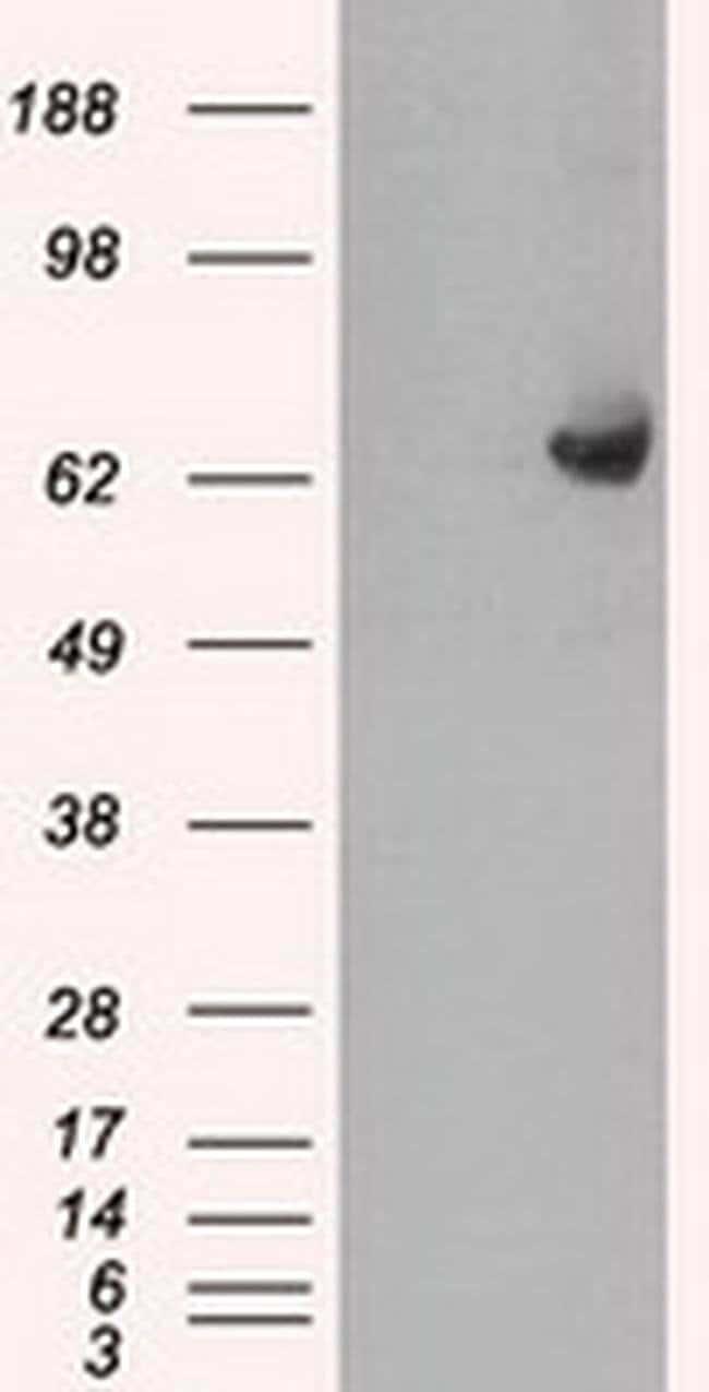 GBP2 Mouse anti-Human, Clone: OTI4H2, Invitrogen 100 µL; Unconjugated