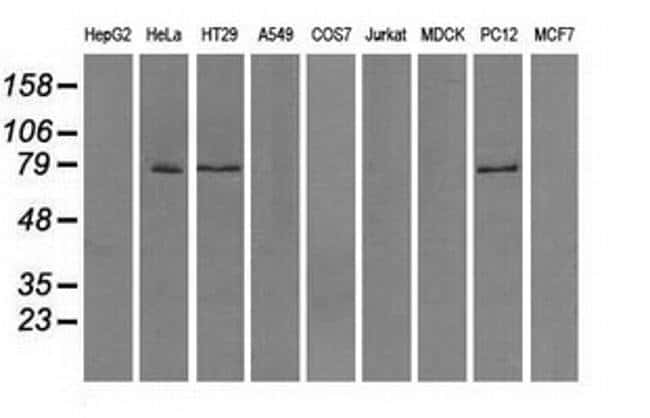 TTLL12 Mouse anti-Human, Rat, Clone: OTI4B2, Invitrogen 100 µL; Unconjugated