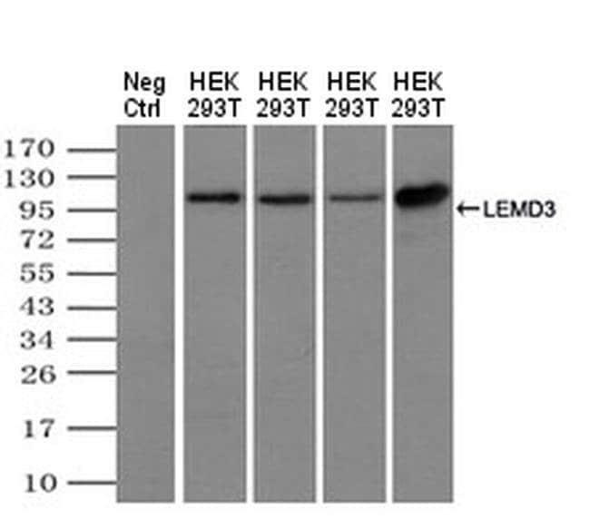 MAN1 Mouse anti-Canine, Human, Non-human primate, Clone: OTI6C10, Invitrogen
