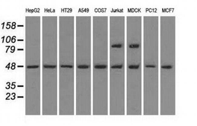 MAN1 Mouse anti-Canine, Human, Non-human primate, Rat, Clone: OTI3H1, Invitrogen