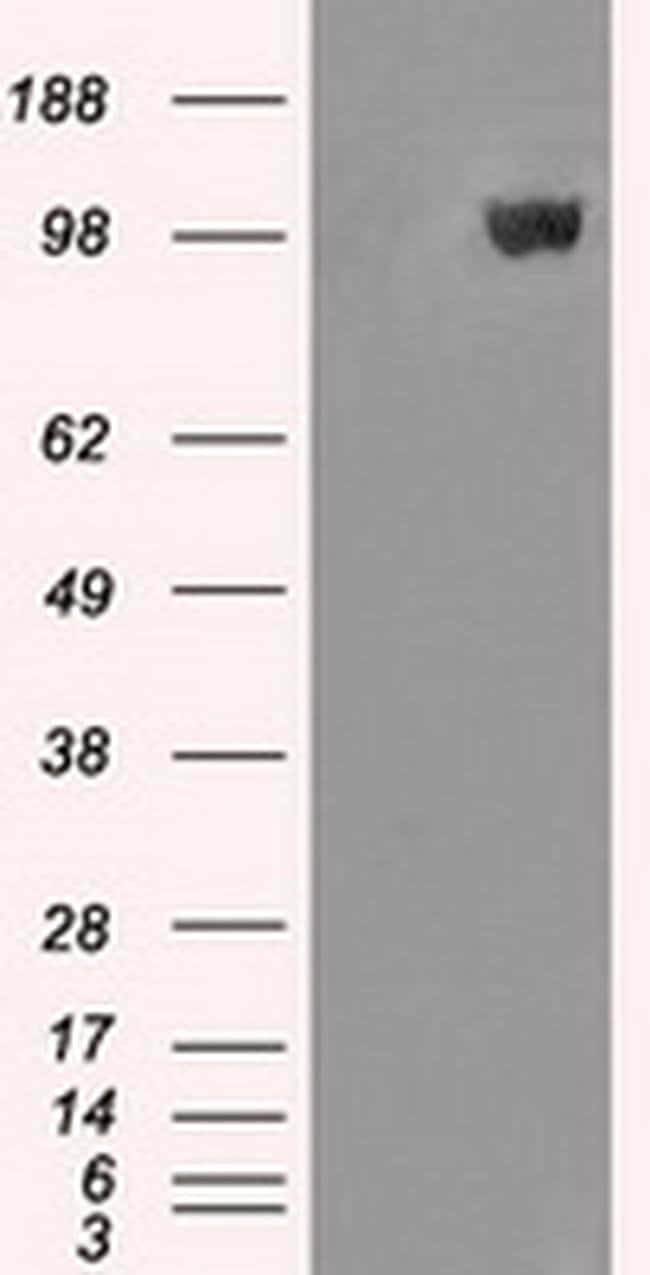 MAN1 Mouse anti-Human, Clone: OTI4E1, Invitrogen 100 µL; Unconjugated
