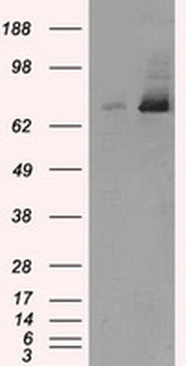 TTLL12 Mouse anti-Canine, Human, Non-human primate, Rat, Clone: OTI7F11,