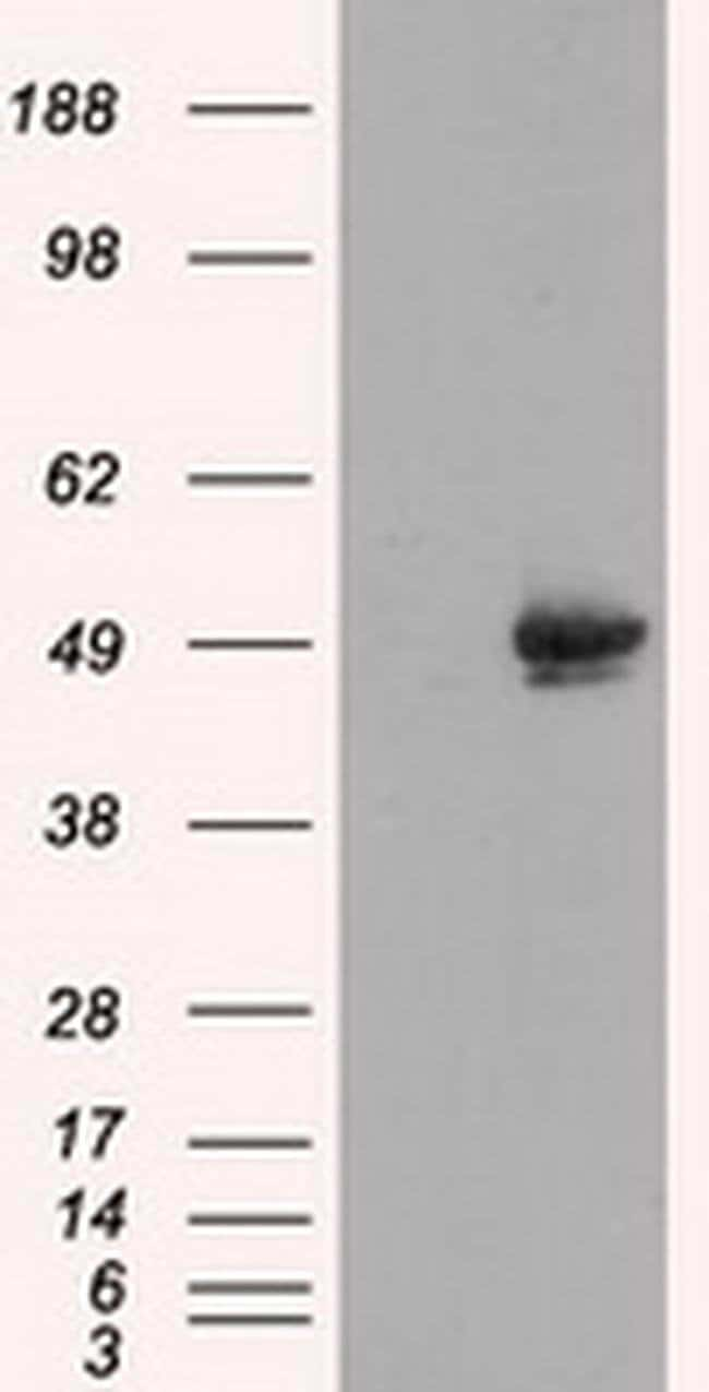 CUGBP1 Mouse anti-Human, Clone: OTI5B8, Invitrogen 100 µL; Unconjugated