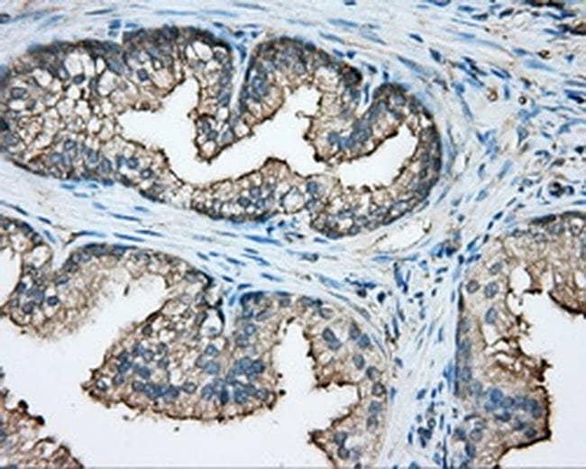 CAPZA1 Mouse anti-Human, Clone: OTI2G4, Invitrogen 100 µL; Unconjugated