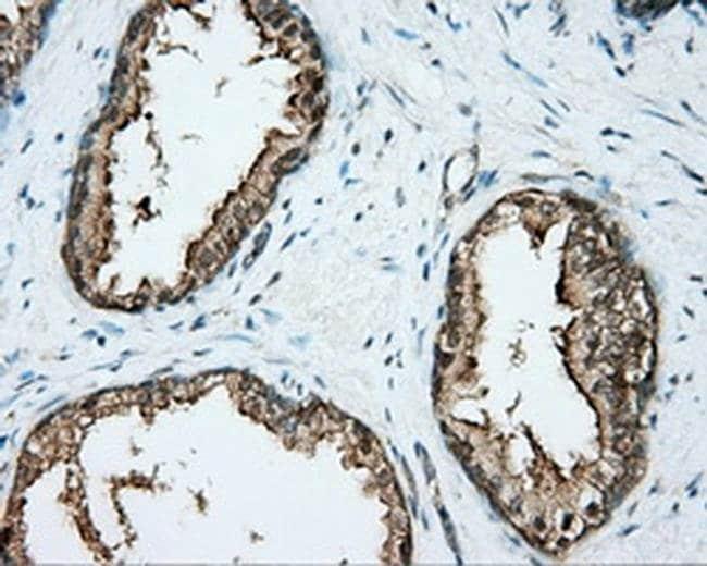 DNTTIP1 Mouse anti-Human, Clone: OTI1E2, Invitrogen 100 µL; Unconjugated