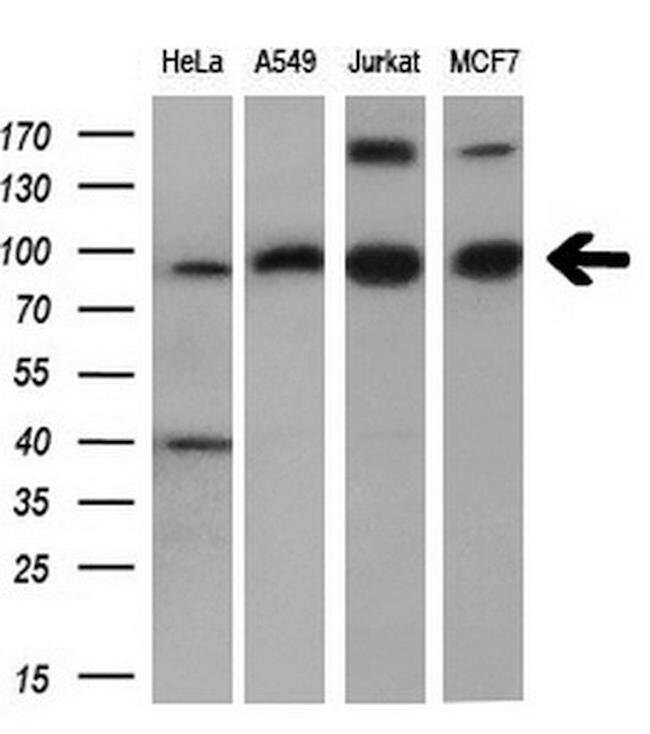 PDE4A Mouse anti-Human, Clone: OTI7B11, Invitrogen 100 µL; Unconjugated