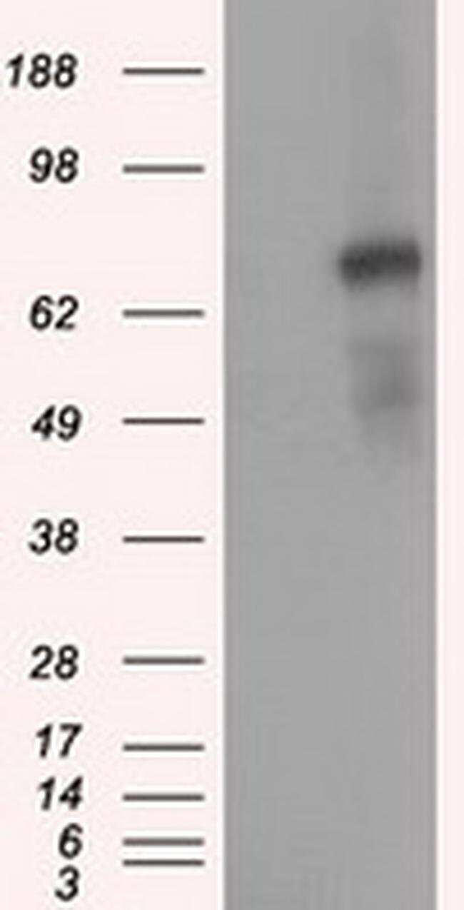 PDE4A Mouse anti-Human, Clone: OTI6B6, Invitrogen 100 µL; Unconjugated