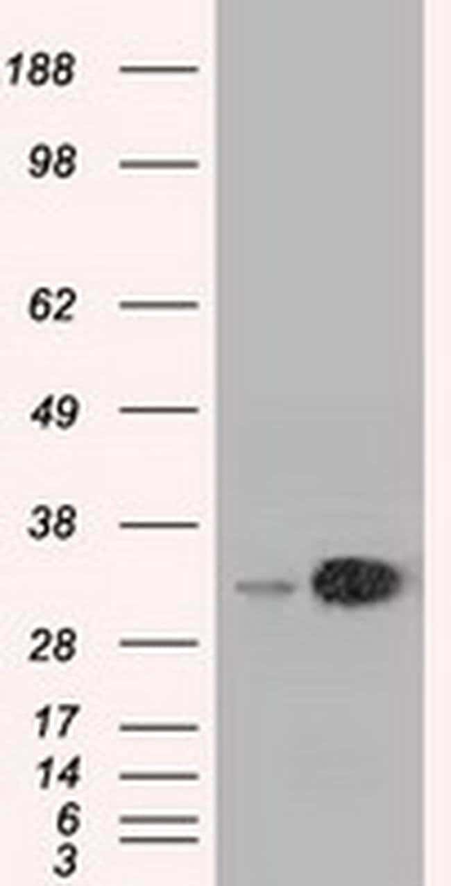EMG1 Mouse anti-Canine, Human, Non-human primate, Clone: OTI1B8, Invitrogen
