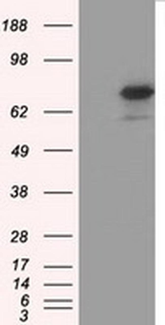 BMAL1 Mouse anti-Canine, Human, Rat, Clone: OTI3G9, Invitrogen 100 µL;