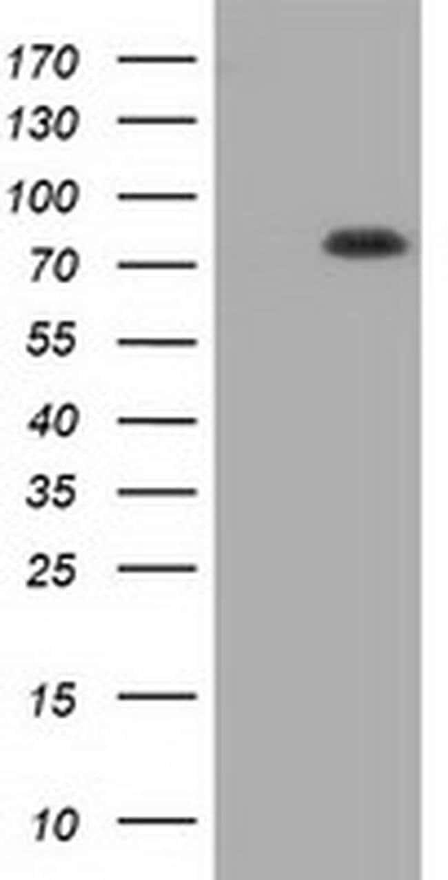 HID1 Mouse anti-Human, Rat, Clone: OTI2E9, Invitrogen 100 µL; Unconjugated