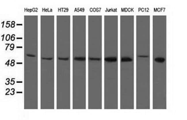 NT5D1 Mouse anti-Canine, Human, Non-human primate, Rat, Clone: OTI1E11,