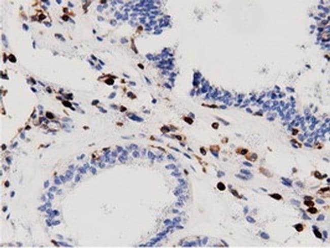 ARHGAP25 Mouse anti-Human, Clone: OTI12G4, Invitrogen 100 µL; Unconjugated