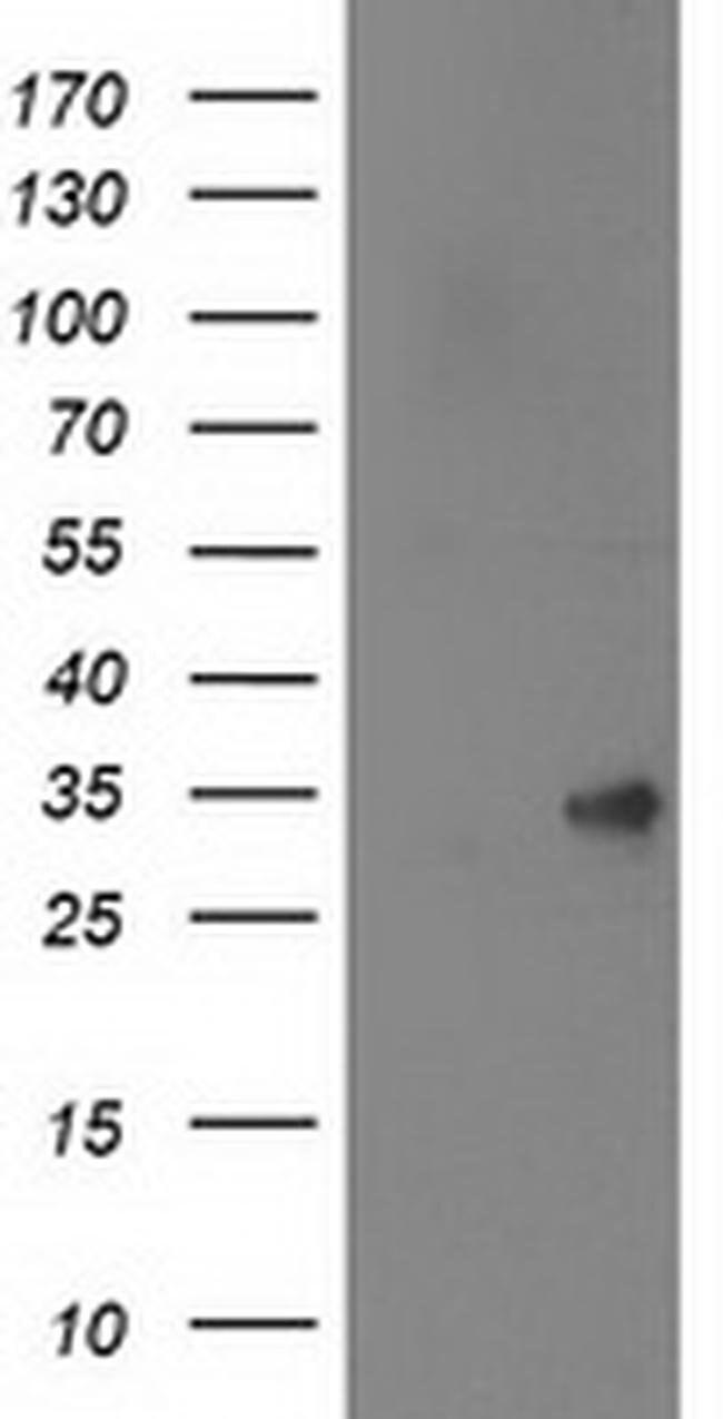 SPR Mouse anti-Human, Rat, Clone: OTI4F5, Invitrogen 100 µL; Unconjugated