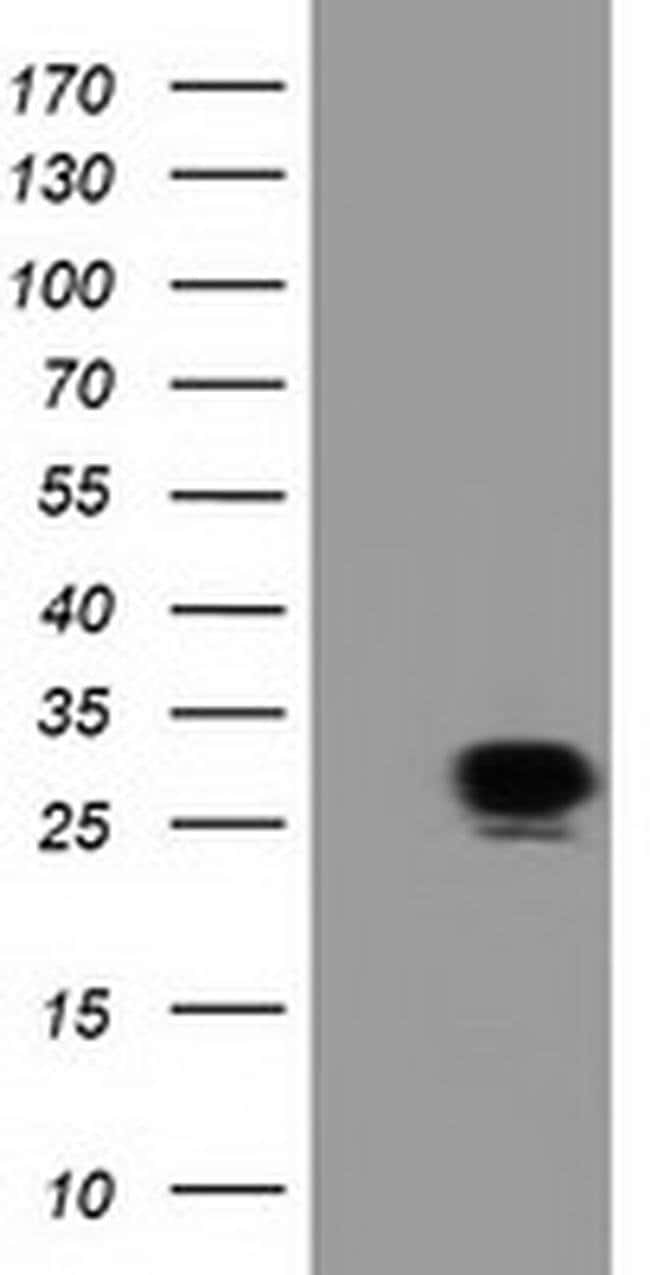 SPR Mouse anti-Human, Non-human primate, Clone: OTI1F4, Invitrogen 100