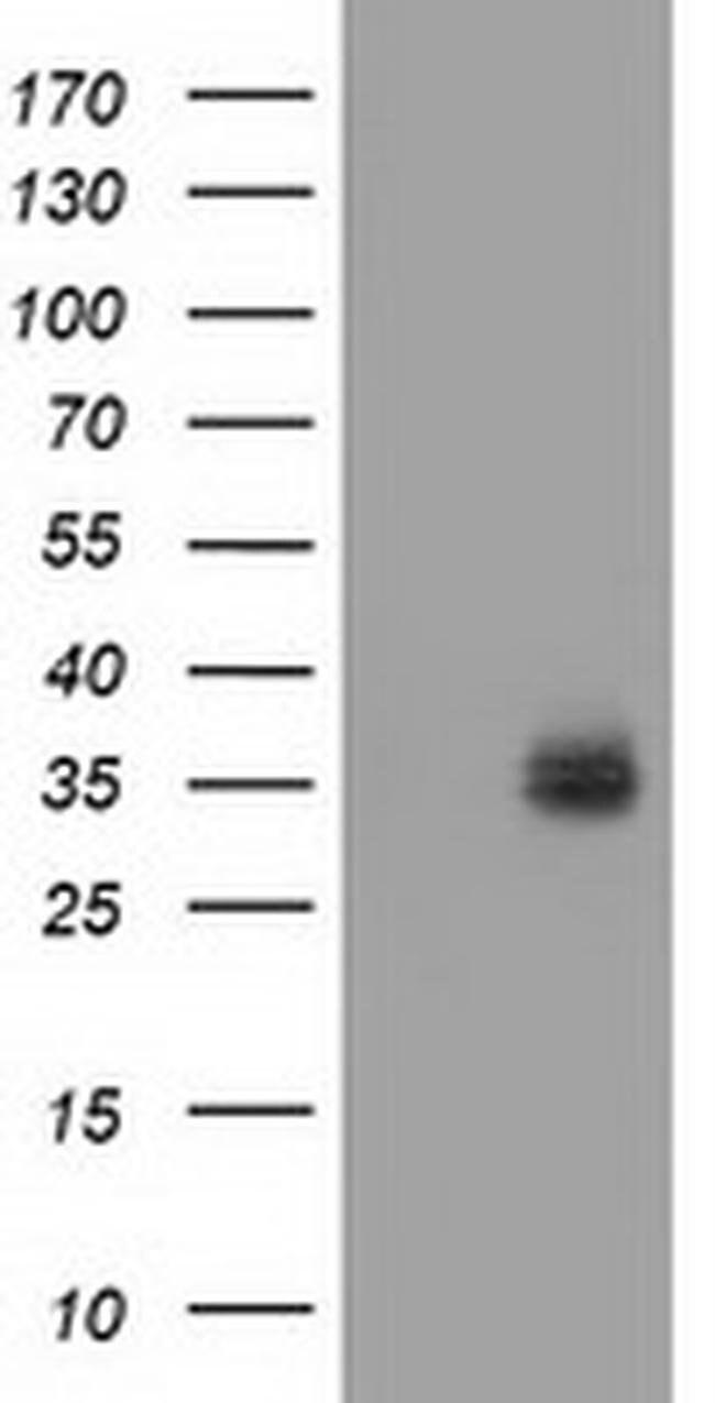 VSIG2 Mouse anti-Human, Clone: OTI2D8, Invitrogen 100 µL; Unconjugated