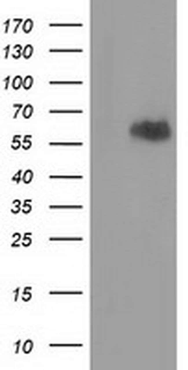 EXD1 Mouse anti-Human, Non-human primate, Rat, Clone: OTI2G5, Invitrogen
