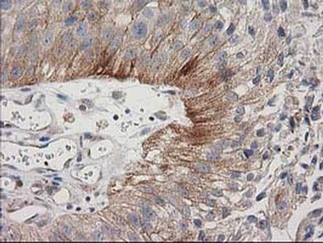 CDCP1 Mouse anti-Human, Clone: OTI2C1, Invitrogen 100 µL; Unconjugated