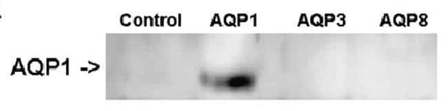 Aquaporin 1 Mouse anti-Human, Clone: OTI2D10, Invitrogen 100 µL; Unconjugated
