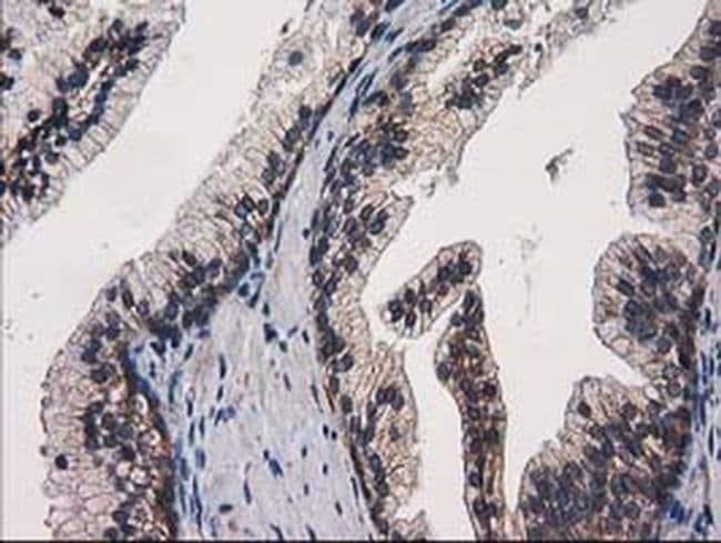 eIF4E2 Mouse anti-Human, Clone: OTI1F11, Invitrogen 100 µL; Unconjugated