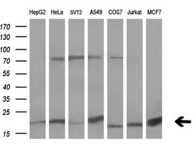 UBL4A Mouse anti-Human, Clone: OTI1D4, Invitrogen 100 µL; Unconjugated