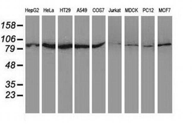 UBA2 Mouse anti-Canine, Human, Non-human primate, Rat, Clone: OTI4A3, Invitrogen