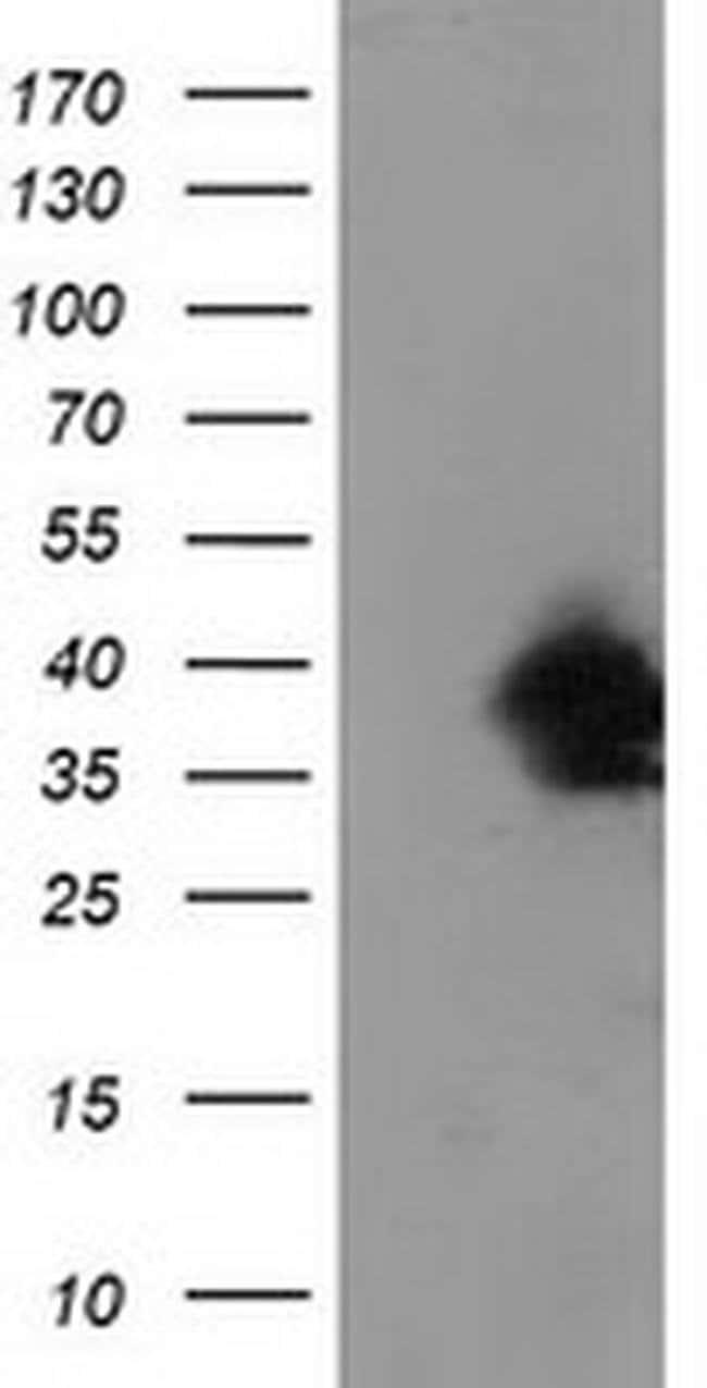 UBXN2B Mouse anti-Canine, Human, Non-human primate, Clone: OTI3H8, Invitrogen