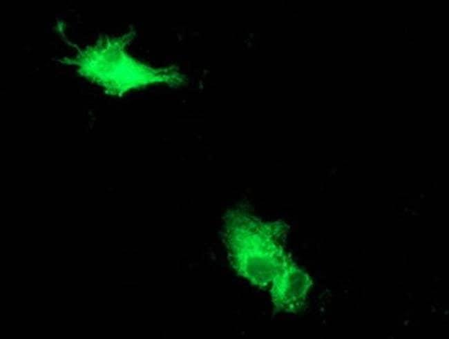 Beclin 1 Mouse anti-Canine, Human, Rat, Clone: OTI1F1, Invitrogen 100 µL;