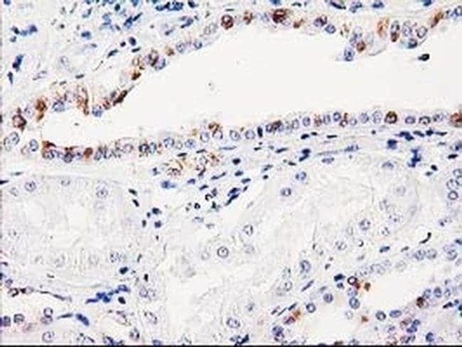 ITM2B Mouse anti-Human, Clone: OTI1C11, Invitrogen 100 µL; Unconjugated